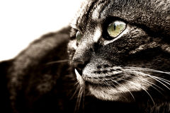 Black-and-white close-up of a cat Stock Image