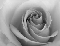 Black and White Close up Image of Beautiful Pink Rose. Flower Background Stock Photo
