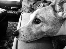 Black and white close up of jack russell terrier Royalty Free Stock Photo