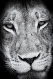 Black and white close-up of a lion face portrait. Artistic convesion royalty free stock photo