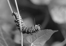 Macro black and white photo of a monarch caterpillars outside on a stem. Black and white close up of monarch caterpillar outside on a stem of a plant getting royalty free stock photos