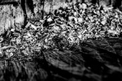 Black and White Close Up of an Old Tree Stump With Sawdust From royalty free stock photo
