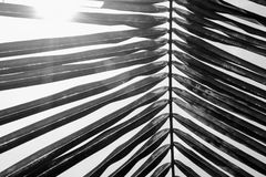 Black and white close up view of beautiful green palm leaf on na Royalty Free Stock Image