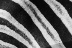 Close up of zebra coat pattern royalty free stock photography