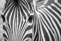 Zebra Face Black and White royalty free stock photography