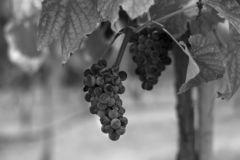 Black and white closep of grapes on vine. Balck and white closeup of a cluster of dark grapes hanging from a branch on a vine in a winery vineyard, with some stock photography
