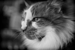Black and white closeup of cat face looking to the left Stock Photos