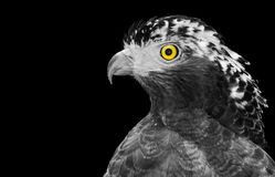 Black and white closeup of a crested serpent eagle, or Spilornis cheela, with isolated color on its yellow eye. Crested serpent eagle, also known by its stock image