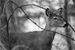 Black and white closeup of the deer Royalty Free Stock Images