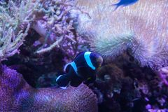 Black and white clown fish with sea anemone coral at dark light aquarium stock photos