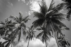 Black and white Coconut palm tree on blue sky Royalty Free Stock Photos