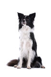 Black and white collie Stock Photos