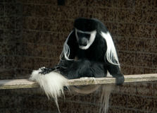 Black-and-white Colobus. A guereza or an Abyssinian black-and-white colobus monkey (Colobus guereza) at Usti Zoo in Northern Bohemia, Czech Republic Stock Photos