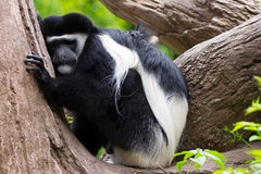 Black and White Colobus (Colobus guereza) Royalty Free Stock Photos