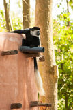 Black and white colobus Colobus guereza monkey Royalty Free Stock Image