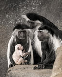 Colobus monkey family portrait Royalty Free Stock Photography
