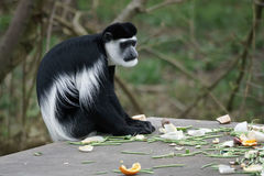 Black and White Colobus Royalty Free Stock Image