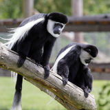 Black and White Colobus (Colubus) Stock Images