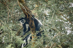 Black and White Colobus,front view over tree, Nile River Stock Photo