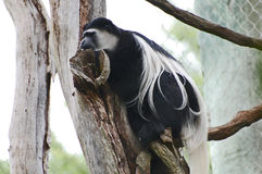 Black-and-white colobus monkey Stock Photography