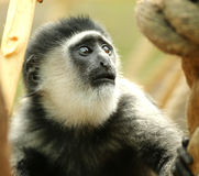 Black-and-White Colobus monkey Royalty Free Stock Photo