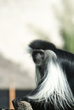 Black And White Colobus monkey Royalty Free Stock Photo