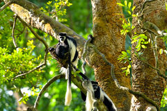 Black-and-white colobus monkey Stock Photo