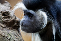 Black & White Colobus Monkey Stock Photos