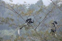 Black and white colobus monkey Royalty Free Stock Photo
