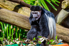 Black-and-white Colobus Monkey Stock Photography