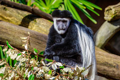 Black-and-white Colobus Monkey Royalty Free Stock Photos