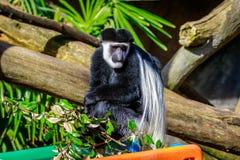 Black-and-white Colobus Monkey Stock Photos