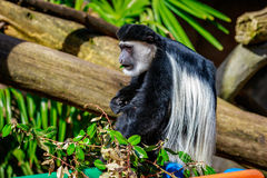 Black-and-white Colobus Monkey Royalty Free Stock Image