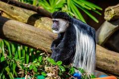 Black-and-white Colobus Monkey Stock Image