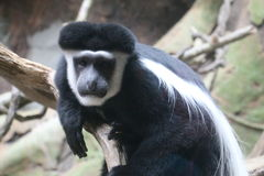 Black and White Colobus Monkey Royalty Free Stock Images