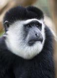 Black and White Colobus Monkey Portrait Stock Photography