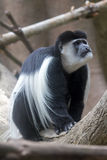 Black and White Colobus Monkey Royalty Free Stock Image