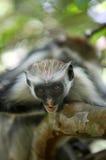 Black-and-white colobus monkey Stock Images