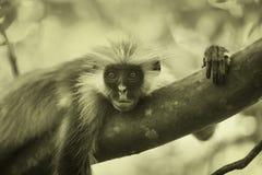 Black-and-white colobus monkey Royalty Free Stock Photography