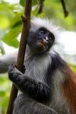 Black-and-white colobus monkey Royalty Free Stock Image