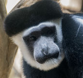 Black and white colobus monkey Royalty Free Stock Photography