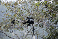 Black and white colobus monkeys eating in tree Stock Images