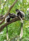 Black and white colobus monkeys Royalty Free Stock Image