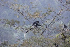 Black and white colobus monkeys in tree Stock Image