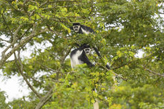 Black-and-White Colobus Monkeys in a Tree Royalty Free Stock Image