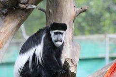 Black-and-white colobus Stock Photo