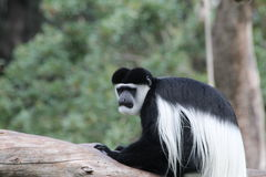 Black-and-white colobus Stock Photos