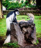 Black and white Colobus sharing food with another monkey, Kenya Stock Photos