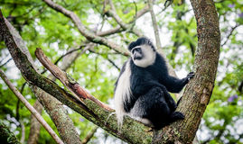 Black and white Colobus sharing food with another monkey, Kenya Royalty Free Stock Image