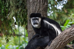 Black-and-white colobus Royalty Free Stock Photos
